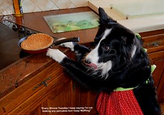 Why do I keep Waffling? (ASHA THE BORDER COLLiE) Tags: pancake day shrove tuesday funny dog picture corder collie apron joke ashathestarofcountydown connie kells county down photography