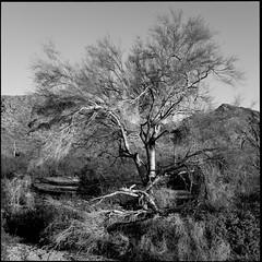 Palo Verde (greenschist) Tags: paloverde usa arizona blackwhite pinalcounty sonorandesert santanmountainregionalpark