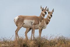 _0HM7206 (Hilary Bralove) Tags: coloradowildlife animals nature nikon antelope rockymountains colorado wildlife