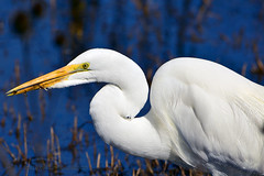 Great_Egret_04 (DonBantumPhotography.com) Tags: wildlife nature animals birds donbantumcom donbantumphotographycom white whitebird greategret waterfowl