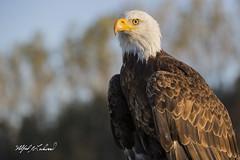 Bald Eagle_T3W1358 (Alfred J. Lockwood Photography) Tags: alfredjlockwood nature wildlife bird baldeagle morning autumn crc canadianraptorconservancy canada portrait bokeh magestic