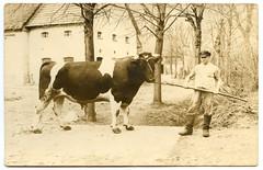 . (Kaïopai°) Tags: vintage bulle zuchtbulle cow bull farm bauer bauernhof farmer kotten stiefel landwirt züchter landwirtschaft
