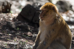 Cogito ...... (gaetano.merola) Tags: barbarymacaque atlas bertuccia monkey morocco marocco ifrane