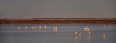 La vie en rose (3) (JLM62380) Tags: pink flamingos flamant rose camargue france eau oiseau nature lavieenrose