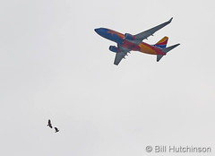 March 18, 2019 - Bald eagles battle while a Southwest jet flies over. (Bill Hutchinson)
