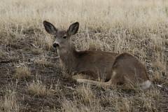 Mule Deer Doe (fethers1) Tags: rockymountainarsenalnwr rmanwr rmanwrwildlife coloradowildlife deer muledeer muledeerdoe