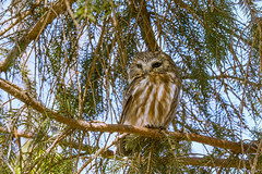 Northern saw whet owl march 18 2019 (Mel Diotte) Tags: northern saw whet owl wild hunter nature mel diotte explore nikon d500