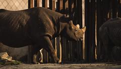 On the march. (Alex-de-Haas) Tags: 300mm blijdorp d5 diergaarde dutch europa europe holland nederland nederlands netherlands nikkor300mm nikon nikond5 rotterdam zuidholland animal animalia animals beautiful beauty creature dier dieren dierentuin fauna garden leven life mooi nature natuur neushoorn park rhino rhinoceros schoonheid wild wildlife winter zoo zoologicalgarden