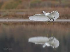 Garzetta (mauro.santucci) Tags: garzetta egrettagarzetta ardeidae uccelli uccello bird avifauna natura birdwatching wildlife wild