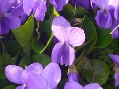 Hain-Veilchen (Jörg Paul Kaspari) Tags: daun eifel vulkaneifel totenmaar frühling spring violariviniana viola hainveilchen violett