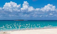 Lesser Crested Terns Flight Line (Trouvaille Blue) Tags: africa mozambique cabodelgado quirimbasarchipelago ilhamedjumbe medjumbeisland indianocean trouvailleblue terns lessercrestedterns birds thalasseusbengalensis