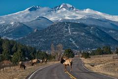 Elk Jam (RkyMtnGrl) Tags: mountains wildlife road elk bull rockies estespark drygulchroad spring march 2019