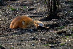 My Friend the Fox - Sleeping in the Sun (W_von_S) Tags: fox fuchs rotfuchs redfox animal tier freund friend sonne sun sleep schlafen cute süs tired müde poing ebersberg wildpark wildlifepark sony sonyilce7rm2 wvons werner outdoor