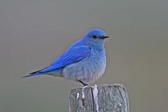 Mountain Bluebird (Gf220warbler) Tags: idaho bluebird passerine songbird