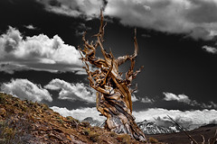 Grey Skies Over Bristlecone Pine (RS2Photography) Tags: inyocounty inyo canont3i mountain mountains 50mm flickr eos cold yellow landscape spring clouds art grey old tree beauty sky ancientbristleconepine ancient rossstone stone ross rs2photography naturephotography nature natur canon america usa california bristleconepine bristlecone