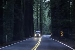 Redwoods Humboldt County (Steven P. Moreno) Tags: garberville california trees stevenpmoreno redwoods nature stevenmorenospix2019 northerncalifornia highway101 travelphotography nikond7100 forest outdoor tree