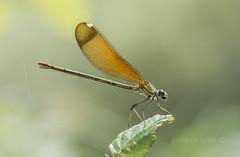 calopteryx haemorrhoidalis (femella) (Josep M.Toset) Tags: animalia arthropoda bosc camí catalunya altcamp cavallet·del·diable d800 nikon macro josepmtoset fauna calopterygidae libèl·lules espiadimonis zigòpter plantes odonat insectes nikon105mmf28dafmicronikkor