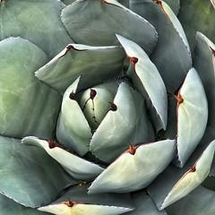 Artichoke Agave (1bluecanoe) Tags: patterns squareformat palmdesert desert succulent agave artichokeagave