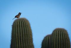 Cactus Wren (Daren Grilley) Tags: birds cactus hiking phoenix arizona trail desert