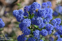 DSC_1407_Honeybee on blue flowers (sdttds) Tags: bee honeybee apismellifera blueblossoms busf davis northdavisgreenbelt northstarpark ceanothus