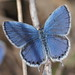 Everes argiades butterfly (short-tailed blue, ツバメシジミ)