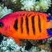 Flame Angelfish - Centropyge loriculus
