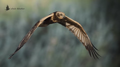Aguilucho lagunero (Circus aeruginosus) (jsnchezyage) Tags: aguilucholagunero circusaeruginosus ave rapaz vuelo bird birding birdwatching ornithology beak feather birdinflight marshharrier