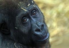 western lowlandgorilla Yanga artis 094A0717 (j.a.kok) Tags: animal artis africa afrika aap ape mammal monkey mensaap primate primaat zoogdier dier gorilla yanga westelijkelaaglandgorilla westernlowlandgorilla lowlandgorilla laaglandgorilla