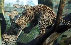 Shrilankan Panther Burgerszoo 094A1782 (j.a.kok) Tags: animal asia azie panter panther leopard luipaard shrilankapanter shrilankanpanther shrilankaansepanter shrilankanleopard welp cub panterwelp leopardcub panthercub pantheraparduskotiya mammal zoogdier dier predator burgerszoo burgerzoo cat kat