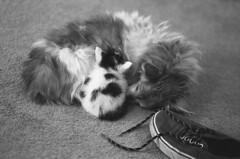 Ginger and Thumbelina (squirtiesdad) Tags: pets animals dog cat kitten nap ginger thumbelina shoe diyfilmscanning selfdeveloped zenit et super takumar 55mm f18 monochrome blackandwhite bw bn analog analogue arista aristaedu iso100 35mm film