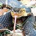 Broad-Banded Water Snake, Jesse Jones Park, Humble, TX 1902111139