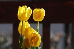 Tulip      H. ROUSSEL  Rectiligne EXTRA - RAP  F : 8 (情事針寸II) Tags: oldlens closeup bokeh nature fleur flower tulip hrousselrectiligneextrarapf8