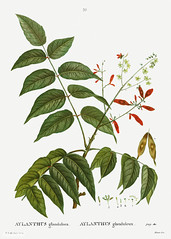 Tree of heaven (Free Public Domain Illustrations by rawpixel) Tags: pierre redoute redouté ailanthus ailanthusglandulosa altissima antique artwork aylanthus aylanthusglanduleux aylanthusglandulosa botanical branch chouchun creativecommons0 drawing element engraved engraving environment fineart flora floral flower glandulosa graphic graphite heaven historical illustrated illustration ink leaf name nature painting pencil pierrejoseph pierrejosephredouté plant publicdomain retro sketch sketching traitédesarbresetarbustes tree treeofheaven tropical vintage