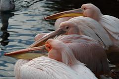 The nice trio (ryorii) Tags: three pelicans london londra birds aquaticbird park parco england tre pellicani pellicano uccello uccelloacquatico uccelli threesame smileonsaturday