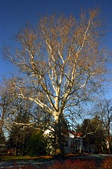 Bicentenarian Sycamore Tree (pmvarsa) Tags: winter 2002 january cans2s analog film 135 agfa hdc 100iso agfahdc100 nikonsupercoolscan9000ed nikon coolscan white blue sky sycamore tree nature preservation old ancient branches age suburb neighbourhood good canon ftb canonftb classic camera windsor ontario canada on