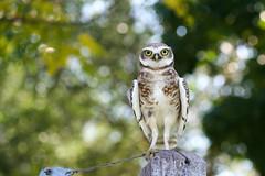 Little curious owl (Tomislav Bicanic) Tags: owl bird curious