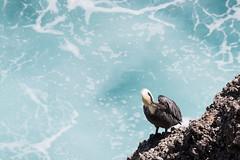IMG_8033-2 (PyL06) Tags: pélican pelican brun guadeloupe gwada pointe des châteaux antilles caraïbes turquoise mer océan oiseau roche animal animalière nature vague