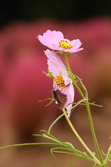 DSC_6640 (Hachimaki123) Tags: 所沢航空記念公園 tokorozawaaviationmemorialpark 日本 japan 所沢市 埼玉県 所沢 tokorozawa saitama animal insect insecto 虫 動物 butterfly mariposa