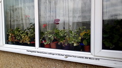 Variegated Geraniums cuttings in kitchen window from outside 20th March 2019 (D@viD_2.011) Tags: variegated geraniums cuttings kitchen window from outside 20th march 2019