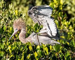 Reddish Egret (dbadair) Tags: outdoor sky nature wildlife 7dm2 ef100400mm canon florida bird nest