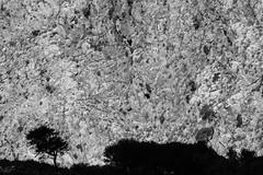 .hidden lands. (.marco.ortolani.kuemmel.) Tags: hiddenlands hiddenside sun grass time biancoenero blackwhite paesaggio grecia greece crete creta katozakros marcoortolanikuemmel rock roccia landscape mediterraneo mediterranean sagome alberi trees vento wind thinwhiterope sackfullofsilver