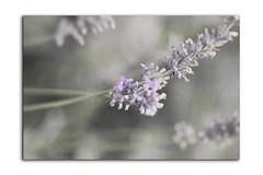 Senteurs ... (j'ai des pellicules plein la tête ...) Tags: macro fleur fleurs flowers proxi lavande