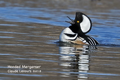 Hooded_Merganser_WEB_2U6A5254 (beeton_bear) Tags: bird ave aves wild wildlife nature ontario schomberg duck merganser male hoodedmerganser beetonbear claudelecours canon photo photography zoom matingcall matingdance