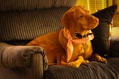 Queen of the House (Stephen G Nelson) Tags: dog pet vizsla tucson arizona