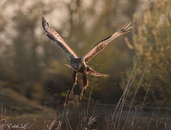 Avec prestance (milvus09) Tags: busarddesroseaux circusaeruginosus westernmarshharrier accipitriformes accipitridés