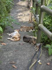 GFX50S__DSF2358_C1 (Bazoka+Cynthia) Tags: cat 小婆 新北市 猴硐 瑞芳區 貓