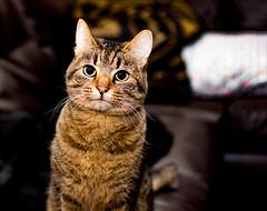 DSC_3743 (tsmartin75) Tags: cats instacat kitty kitten catlover ilovemycat catlovers kittens animals pets bestmeow nikon d7200 35mm lightroom