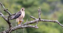 Falcon Lanner (michael heyns) Tags: bird caracarasandfalcons hluhluwe 2018 lannerfalcon falcobiarmicus falconidae