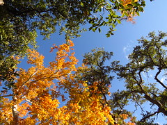 Fall color in Madera Canyon Arizona (2) (gskipperii) Tags: yellow color arizona scenic fall nature outdoors southernarizona tucson pretty beautiful forest woods leaves trees