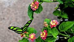 Borboletas Verdes (Parchen) Tags: borboleta borboletas verde verdes verdeepreta pretaeverde contrastante simetria simétricas bela beleza bonita natureza siproetastelenes malachite malaquita trio três ninfalídeos nymphalidae foto fotografia imagem registro nomecientífico